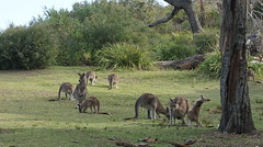 Family at Cave Beach (spelio) Tags: ace feb 2018 jervis bay green patch cavesb roo kangaroo