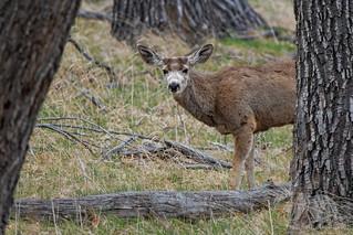 Mule Deer #explored