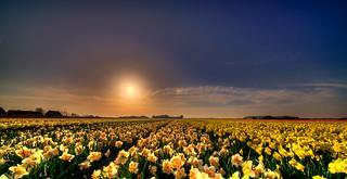 Whispering daffodils.