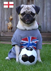 Go England Go! (DaPuglet) Tags: pug pugs dog dogs pet pets animal animals england worldcup soccer football sports uk british britain greatbritain 2018 fifa cute flag unionjack london coth coth5