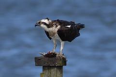 Meal Time. (stonefaction) Tags: osprey birds nature wildlife eden estuary guardbridge fife scotland