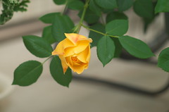 Is it blooming? Or is it still? (shuichi.hashimoto) Tags: da davidaustin rose goldencelebration yellow englishrose