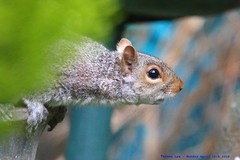 I've Been Spotted....... (law_keven) Tags: greysquirrels greysquirrel squirrels catford london wildlife wildlifephotography photography mammals mammal