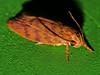 Long horn streaky pumpkin moth Lophopepla sp Oecophorinae Oecophoridae Airlie Beach rainforest P1230937 (Steve & Alison1) Tags: long horn streaky pumpkin moth lophopepla sp oecophorinae oecophoridae airlie beach rainforest