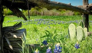 Bluebonnet Cactus Fence