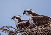 Home, Sweet Home (jgaosb) Tags: sunken state park osprey
