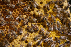 My hard working Ladys building a nursery - Meine fleißigen Bienchen bauen einen Kindergarten (ralfkai41) Tags: bienenwaben insekten nature honigbiene honeybees insects natur makro macro tiere animals combs schwarm bienenschwarm bees hive bienen cells honeycomb