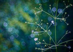 By the Pond (ursulamller900) Tags: alismaplantagoaquatica primotar35135 pond froschlöffel bokeh blue green schwebfliege hoverfly mygarden