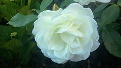 White Rose in Aberdeen, June 2018 (allanmaciver) Tags: white rose delicate aberdeen north east city details cheer smell allanmaciver
