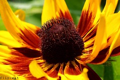 inside The Sun (flipkeat) Tags: nature flower plant rudbeckia closeup flora flowers awesome different