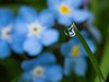 Forget-me-not (abiward) Tags: forgetmenot flowers flower blue blueflowers droplet waterdroplets waterdroplet macro macrophotography closeup nikon nikond600 garden englishgarden refraction