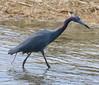 F_042218i (Eric C. Reuter) Tags: birds birding nature wildlife nj forsythe refuge nwr oceanville brigantine april 2018 042218