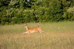 On the run (NicoleW0000) Tags: deer whitetaileddeer doe wild animal wildlife outdoor nature photography field trees ontario