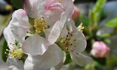 Fleur, Pommier, Jardin (fred'eau) Tags: flower jardin nikon 50mm macro parc nature printemps couleur takumar d700