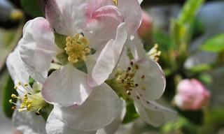 Fleur, Pommier, Jardin