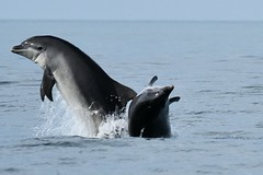Dolphin pair at play (karen leah) Tags: dolphin bottlenose mammal nature wildlife outdoors sea july summer cardiganbay ceredigion movement leaping acrobatics