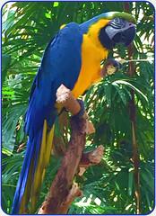 "Blue and Gold Macaw  (Ara ararauna) (FernShade) Tags: ""vancouver bc"" ""queenelizabethpark"" ""bloedelconservatory"" ""blueandgoldmacaw"" ""blueandyellowmacaw"" ""araararauna"" macaw bird avian ""tropicalbird"" ""exoticbird"" nature"