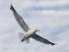 Herring Gull (dougbank) Tags: artsy michigan lakesuperior horizontal birds bird gull flight white outdoors outside
