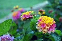 together (noitalsnarT_nI_tsoL) Tags: lantanacamara bouquet flowers pink yellow green leaves bokeh blurry dof garden invasivespecies floret