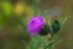 Thistle...... (favmark1) Tags: kent hedge hedgerow wild wildflower cycle