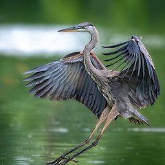 TheLanding (jmishefske) Tags: 2018 nikon d500 flying milwaukee lagoon pond greenfield blue bif great flight westallis flyweight wisconsin heron july park fly bird county water