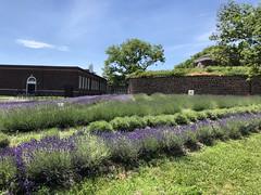 Lavender Field 2018