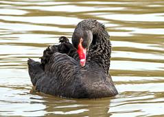Black Swan in Memoriam (Nigel B2010) Tags: swan black wildlife nature reserve attenborough nottinghamshire countryside england midlands beauty graceful explore memoriam