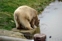 Thirsty bear (dan487175) Tags: polarbear orso lake zoo wildlifepark animal mammal nikond4300 nikon tamron drinking thirsty rock paws white whitefur giant grass outdoors water daytrip yorkshire bear bearpaws tail bum dirty sip rippels pool rockpool 2017 camera fence wire fencepost claws cute ears