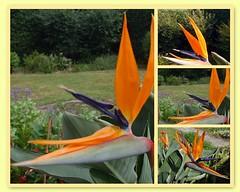 Strelizie - Paradiesvogelblume (Ronile35) Tags: fdsflickrtoys garten
