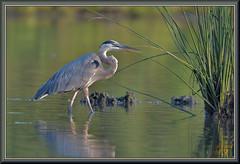 At least (WanaM3) Tags: wanam3 nikon d7100 nikond7100 texas pasadena clearlakecity armandbayou bayou water reeds outdoors nature wildlife canoeing paddling animal bird heron greatblueheron