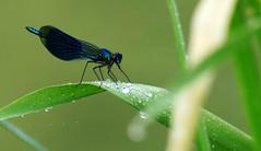 Il faut boire à la source, … à la source de la vie. (Le.Patou) Tags: animal plante libellule rosée boire source feuille vert bleu plant dew dragonfly damselfly drink spring leaf blue green insecte insect fz1000