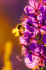 Honey bee collecting pollen (jesserepo) Tags: honeybee apis evening collecting pollen insect bokeh outoffocus backlight vivid color glow flower nature background animal small yellow violet summer spring season pollination macro wild beauty garden floral bloom blossom closeup flowers outdoors