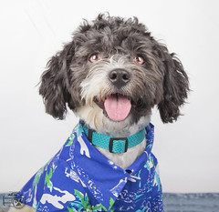 Sylvester4 (Shutters for Shelters) Tags: shuttersforshelters s4s misfitsdogrescue dogs sylvester poodle dressedup hawaiian shirt tongue jillt8 colorado