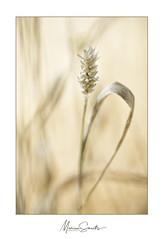 Remi, alleen op de wereld - Remi, alone in the world (Marian Smeets) Tags: tarwe wheat pastel macro macrophotography macrofotografie nikond750 nederland natuur nature netherlands dutch limbricht limburgslandschap soft