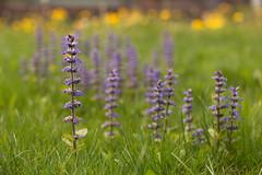 Bavarian violet (Nathalie Le Bris) Tags: violet lila flower fleur flor bokeh baviera bavière