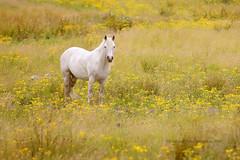 White Horse (Eimhear Collins) Tags: whitehorse connemara galway eimhearcollins