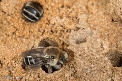 Chimney Bees (Diadasia bituberculata) (aliceinwl1) Tags: aculeata anthophila apidae apinae arthropod arthropoda bee ca california diadasia diadasiabituberculata emphorini hymenoptera insect insecta santabarbaracounty v bituberculata locnoone subgenuscoquillettapis viseveryone