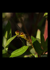 07-07-2018-4688-i (Jean Ginieis) Tags: odonate libellule anyzoptère cenevières cornus lot 46330 insectes demoiselle dragonflies sympetrumflaveolum sympetrum flaveolum