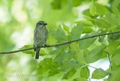 Spotted Flycatcher (Ponty Birder) Tags: g b wheeler pontybirder garywheeler birds wales flycatcher