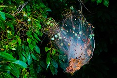 SPIDER WEB (katyearley) Tags: texas 55mm canonrebelt6 berries light shadows trees leaves web spider