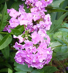 2018 Germany // Unser Garten - Our garden // im Juli // Phlox (maerzbecher-Deutschland zu Fuss) Tags: garten natur deutschland germany maerzbecher garden unsergarten 2018 juli phlox