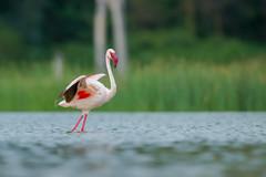 Lesser Flamingo (Mujtaba Hussain Shah) Tags: lakeelementaita kenya africa lesser flamingo pink bird wildafrica greatriftvalley wildlife