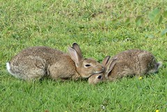 cuddling rabbits (togwood) Tags: nature wildrabbits wildlife wigan england
