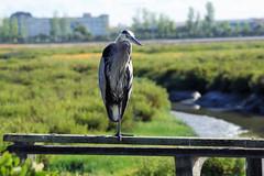 Great Blue Heron on railing (Scott Severn) Tags: don edwards wildlife refuge great blue heron