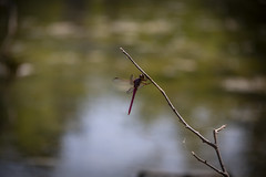 scarlettskimmer (webmastermama71) Tags: dragonfly dragonflies insects wings bugs ponds pondlife nature naturepreserve
