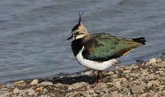 Lapwing 010218 (2) (Richard Collier - Wildlife and Travel Photography) Tags: naturalhistory nature birds britishbirds lapwing