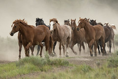 Released to Pasture (MiriamPoling) Tags: horses dust running trot pasture released grand tetons