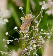 Meadow Brown (chdphd) Tags: meadowbrown maniolajurtina maniola aberdeenshire kincardineshire stonehaven butterfly