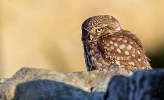 Little Owl at sun rise