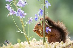 Red squirrel behind of an Delphinium (Geert Weggen) Tags: beauty blossom blue closeup colorimage delphinium extremecloseup field flower flowerhead flowerbed fragility greencolor growth herb leaf multicolored nature nopeople outdoors perennial petal photography plant publicpark scenicsnature season spice springtime summer vertical vibrantcolor eurasianredsquirrel autumn animalwildlife animalsinthewild winter woodland squirrel rodent mammal garden split spread yoga reaching bispgården jämtland sweden geert weggen ragunda
